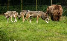 Beren en wolven