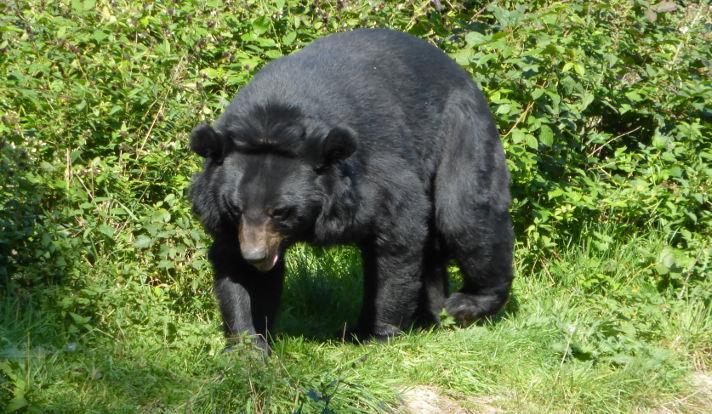 asiatic black bear bears in mind