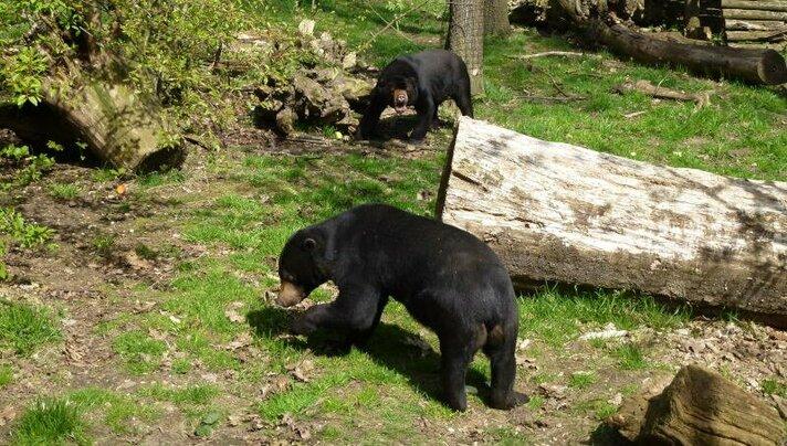 Adopteer een Maleise beer