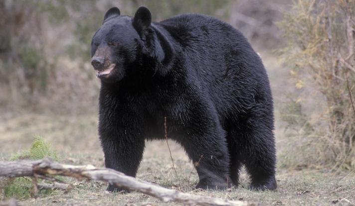 Amerikaanse zwarte beer