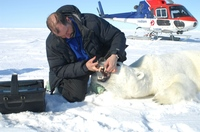 Polar bear numbers could drop a third