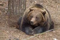 Vrouwtjesberen met jongen zoeken soms bescherming bij mensen