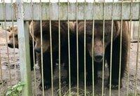 Drie beren uit Litouwen gered