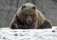 Siberische regio wil 1300 beren afschieten