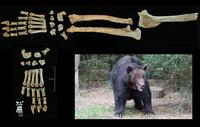Botten bruine beer gevonden