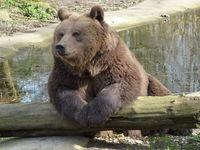 Botten bruine beer gevonden in Schouwen