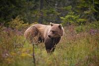 Scandinavische beren vermijden contact met mensen