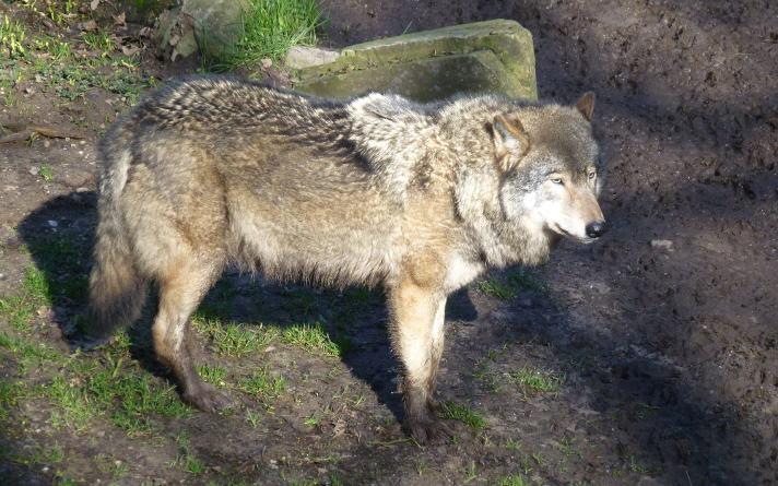 Wolf uit Het Berenbos is overleden