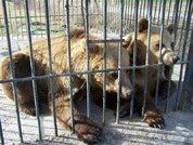 Beren in nood in Albanië