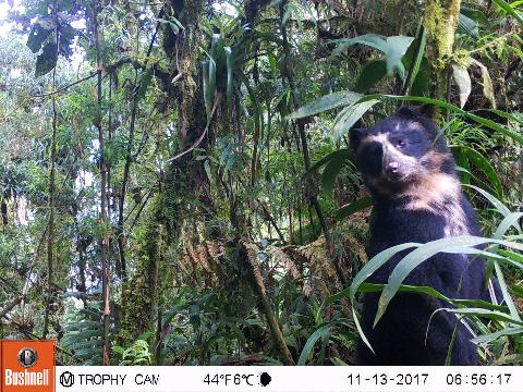 Brilberen in Ecuador