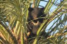 Aziatische zwarte beer in Iran